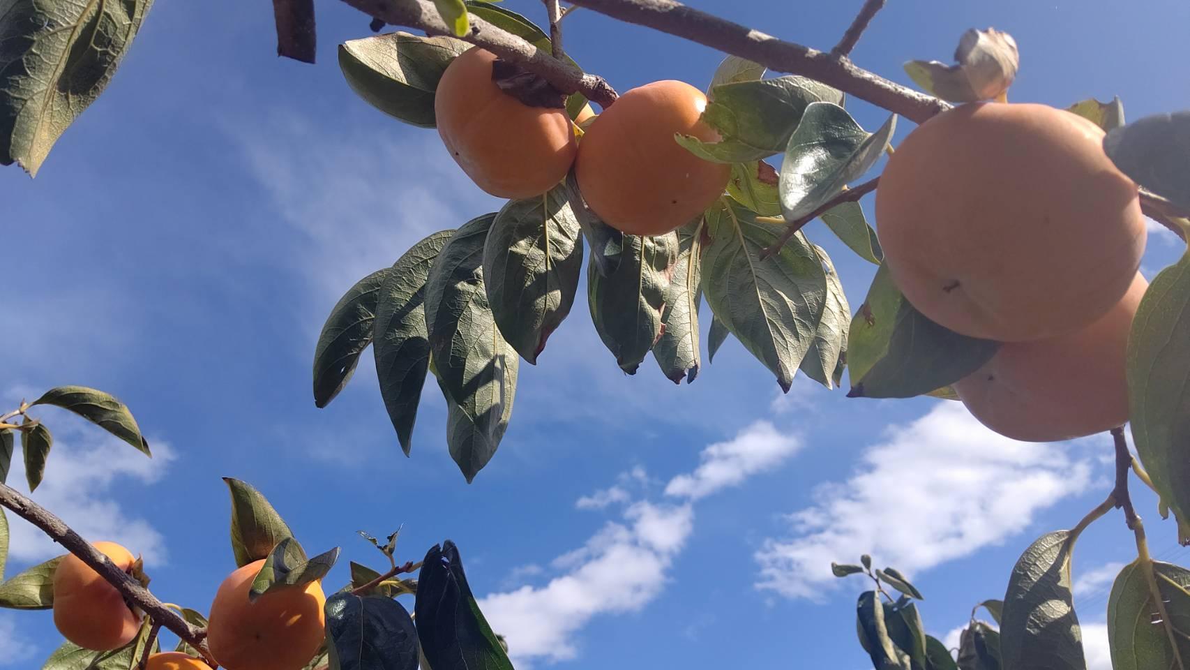 今年も柿orカレンダーをプレゼント!!